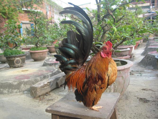 Gà tre thái lan,gà tre chân lùn,gà cảnh,gà rừng,gà tân châu mặt râu,gà tre thái.